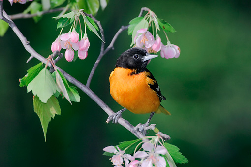 BRD 13 TK0009 01 © Kimball Stock Male Northern Oriole Perching On Branch With Pink Blossoms