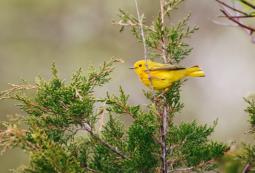 BRD 13 TK0012 01 © Kimball Stock Yellow Warbler Perching In Tree Profile