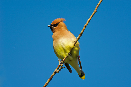 BRD 13 TK0015 01 © Kimball Stock Cedar Waxwing Perching On Twig