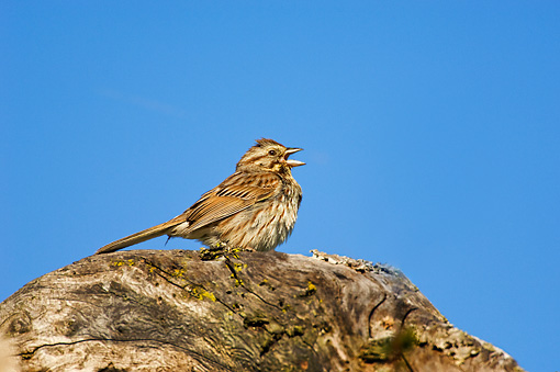BRD 13 TK0016 01 © Kimball Stock Song Sparrow Singing On Log