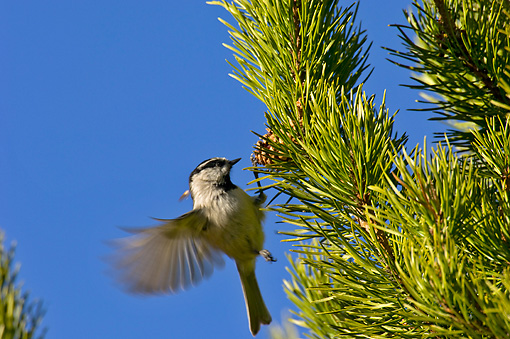 BRD 13 TL0001 01 © Kimball Stock Black Capped Chickadee Looking For Insects On Pine Tree