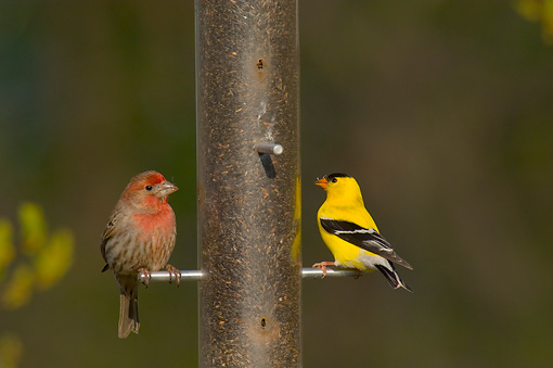 BRD 13 TL0002 01 © Kimball Stock House Finch And American Goldfinch Male Sitting At Birdfeeder