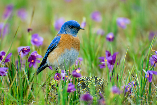 BRD 13 TL0003 01 © Kimball Stock Male Western Bluebird On Wildflowers
