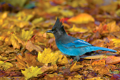 BRD 13 TL0009 01 © Kimball Stock Steller's Jay On Fall Leaves