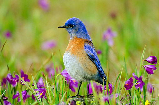 BRD 13 TL0012 01 © Kimball Stock Male Western Bluebird By Wildflowers