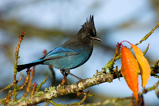 BRD 13 TL0013 01 © Kimball Stock Steller's Jay On Tree Branch