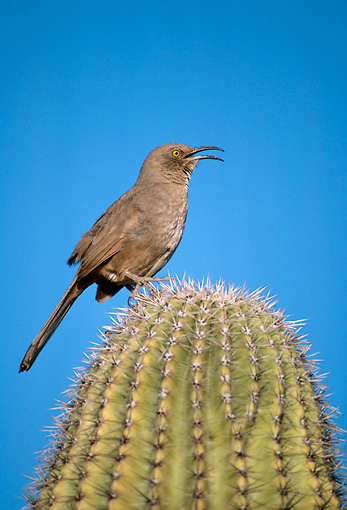 BRD 13 TL0014 01 © Kimball Stock Curve-billed Thrasher Singing From A Top Of Cactus