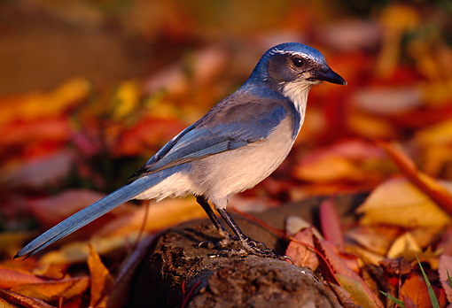 BRD 13 TL0017 01 © Kimball Stock Scrub Jay On Autumn Leaves