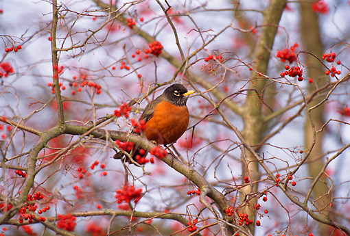 BRD 13 TL0018 01 © Kimball Stock American Robin In Tree
