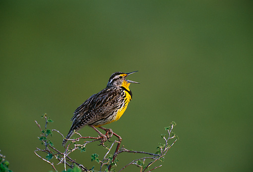 BRD 13 TL0019 01 © Kimball Stock Western Meadowlark Singing On Branch