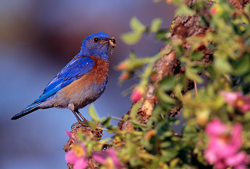 BRD 13 TL0022 01 © Kimball Stock Western Bluebird Male Perched On Bush