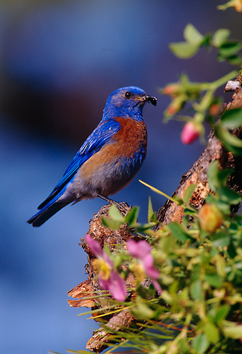 BRD 13 TL0023 01 © Kimball Stock Western Bluebird Male Perched On Bush