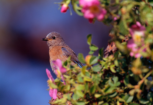 BRD 13 TL0024 01 © Kimball Stock Female Western Bluebird Perched On Bush