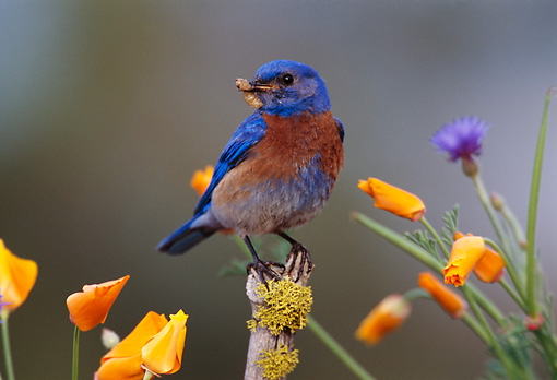 BRD 13 TL0025 01 © Kimball Stock Male Western Bluebird With Worm On Flower