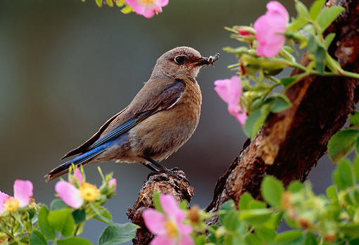 BRD 13 TL0026 01 © Kimball Stock Female Western Bluebird By Pink Flowers