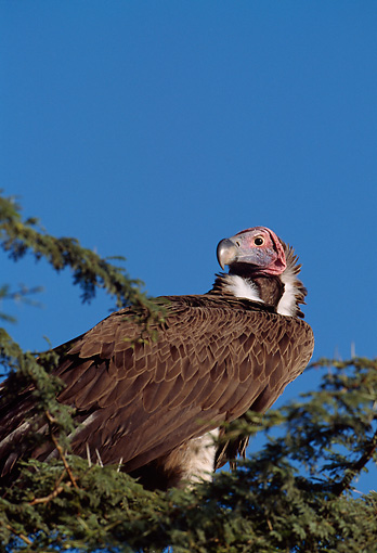BRD 13 TL0028 01 © Kimball Stock Lappet-faced Vulture Standing In Tree Shot From Below