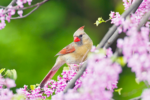 BRD 13 TL0029 01 © Kimball Stock Female Northern Cardinal Perching In Flowering Tree
