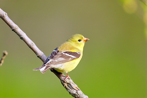 BRD 13 TL0031 01 © Kimball Stock Female American Goldfinch Sitting On Branch