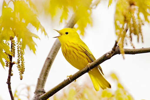 BRD 13 TL0032 01 © Kimball Stock Yellow Warbler Singing In Tree