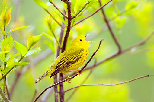 BRD 13 TL0033 01 © Kimball Stock Yellow Warbler Singing In Tree