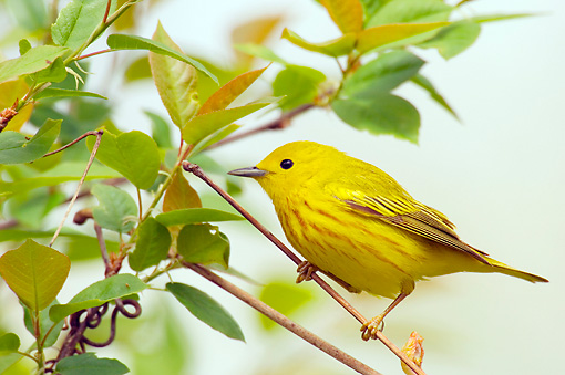 BRD 13 TL0034 01 © Kimball Stock Yellow Warbler Sitting In Shrub
