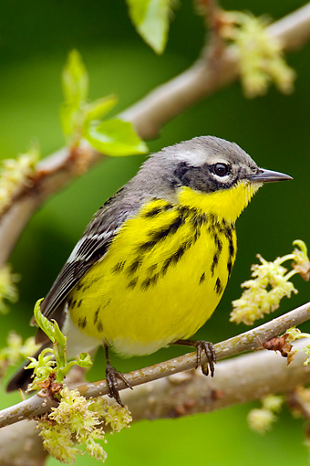 BRD 13 TL0035 01 © Kimball Stock Magnolia Warbler Sitting In Tree