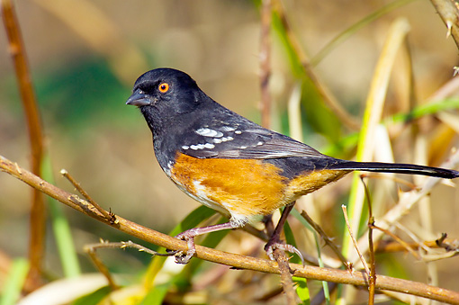 BRD 13 TL0037 01 © Kimball Stock Spotted Towhee Sitting On Twig