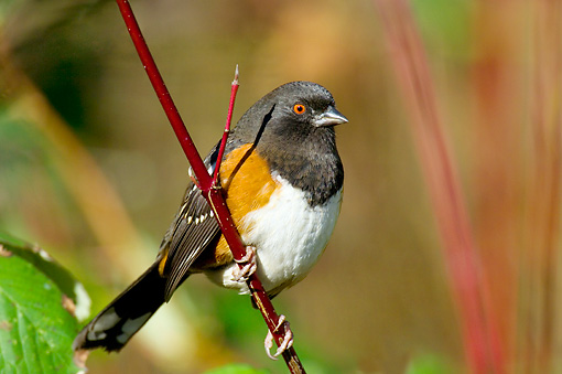 BRD 13 TL0038 01 © Kimball Stock Spotted Towhee Sitting On Twig