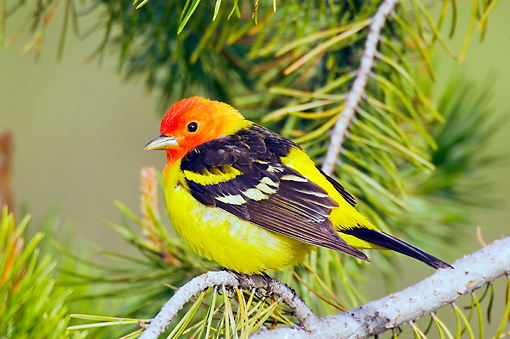BRD 13 TL0039 01 © Kimball Stock Male Western Tanager Sitting On Pine Branch
