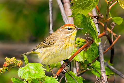 BRD 13 TL0042 01 © Kimball Stock Palm Warbler Sitting On Branch