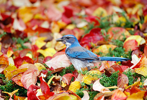 BRD 13 TL0043 01 © Kimball Stock Scrub Jay Standing In Autumn Leaves