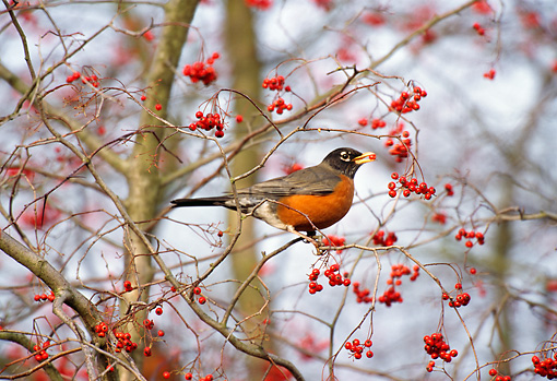 BRD 13 TL0044 01 © Kimball Stock American Robin Eating Red Berries In Tree In Winter