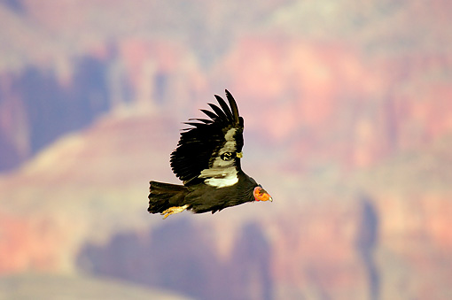 BRD 13 TL0048 01 © Kimball Stock California Condor Flying Mountains Background