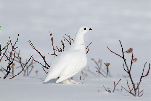 BRD 13 TL0054 01 © Kimball Stock White-Tailed Ptarimgan Standing On Snow By Twigs