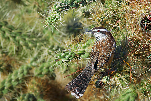 BRD 13 TL0056 01 © Kimball Stock Cactus Wren Perching On Cactus Arizona