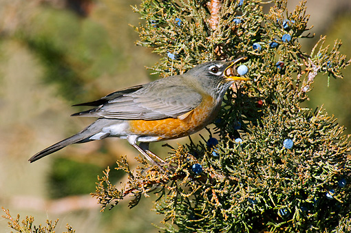 BRD 13 TL0058 01 © Kimball Stock American Robin Feeding On Juniper Berries Autumn
