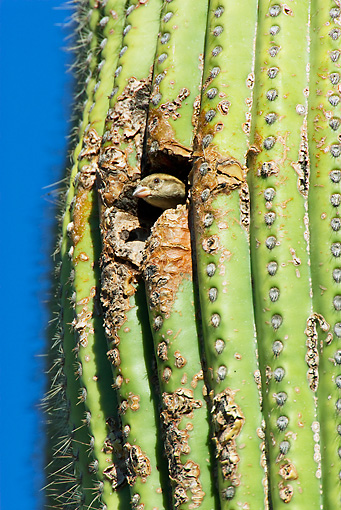 BRD 13 TL0059 01 © Kimball Stock House Sparrow Peeking Out Of Nest In Cactus Arizona