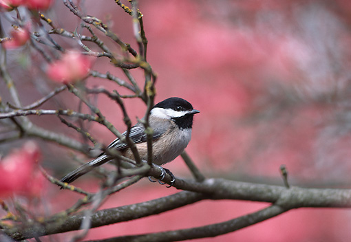 BRD 13 TL0060 01 © Kimball Stock Black-Capped Chickadee Perching On Branch In Flowering Dogwood Tree
