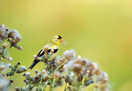 BRD 13 TL0061 01 © Kimball Stock American Goldfinch Feeding On Thistle