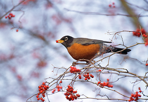 BRD 13 TL0062 01 © Kimball Stock American Robin Eating Red Berries In Tree In Winter