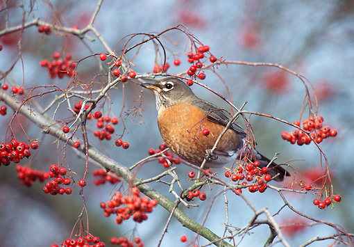 BRD 13 TL0063 01 © Kimball Stock American Robin Eating Red Berries In Tree In Winter