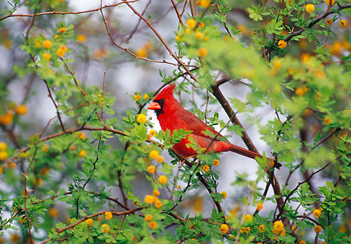 BRD 13 TL0065 01 © Kimball Stock Male Northern Cardinal Sitting In Flowering Tree