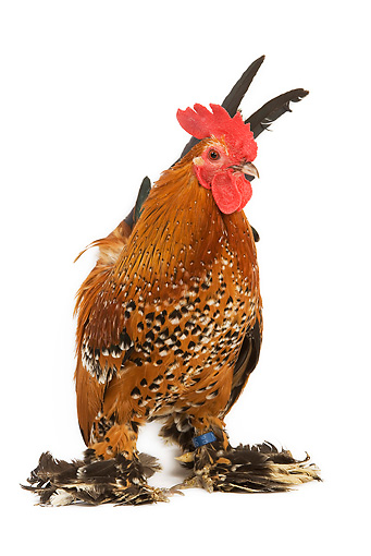 BRD 14 JE0004 01 © Kimball Stock Millefleur Booted Bantam Rooster Standing On White Seamless