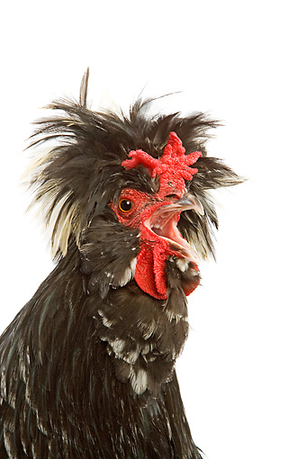 BRD 14 JE0010 01 © Kimball Stock Head Shot Of Mottled Houdan Rooster Crowing On White Seamless