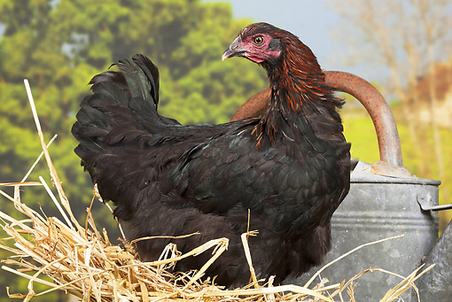 BRD 14 JE0028 01 © Kimball Stock Black And Copper Marans Chicken Sitting On Hay By Watering Can