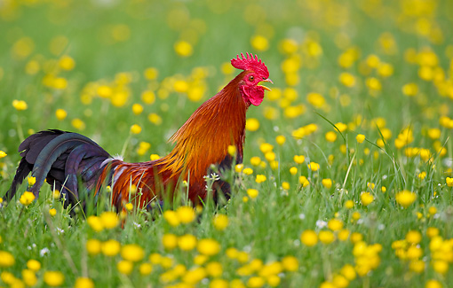 BRD 14 KH0011 01 © Kimball Stock Gallic Rooster Crowing In Tall Grass And Buttercups