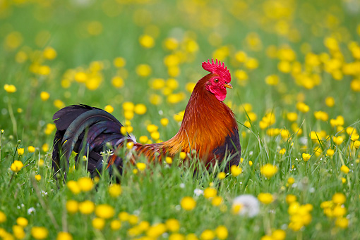 BRD 14 KH0012 01 © Kimball Stock Gallic Rooster Standing In Tall Grass And Buttercups