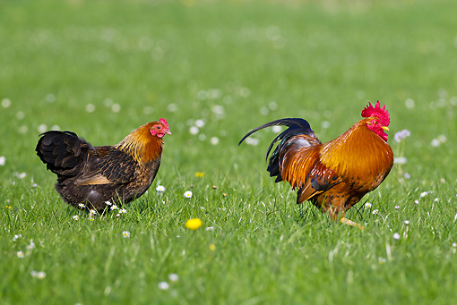 BRD 14 KH0028 01 © Kimball Stock Gallic Rooster And Hen Walking Through Meadow France