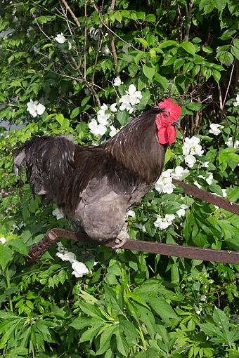 BRD 14 LS0058 01 © Kimball Stock Rooster Perched On Old Rusty Plow By Mock Orange Bush