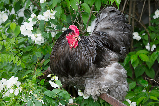 BRD 14 LS0059 01 © Kimball Stock Rooster Perched On Old Rusty Plow By Mock Orange Bush